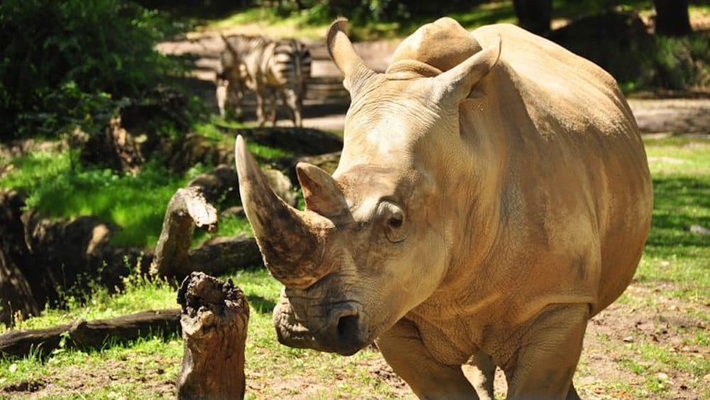 Up Close with Rhinos Tour Starting Nov. 1 at Disney's Animal Kingdom Theme Park